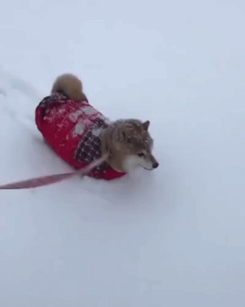 chien chasse-neige.gif