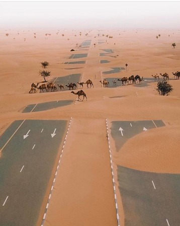 Camels_crossing_the_highway_in_UAE_desert_la_caravane_passe.jpg