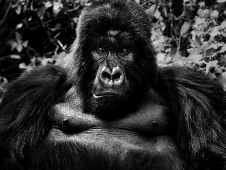 David Yarrow gorille.jpg