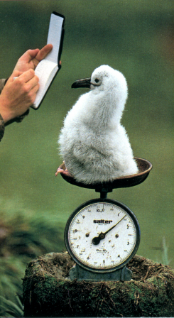 Frans Lanting A baby albatross is weighed in South Georgia amende stationnement.png