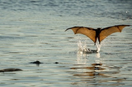 Nitmiluk National Park Australia  A little red flying fox dips a toe in a lake at the mouth of Katherine gorge in the Northern Territory Photograph Glenn Campbell chauve souris bain bonjour.jpg